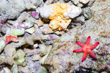 Sea star in the coral reef, Bali sea, Indonesia