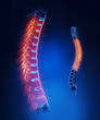 Thoracic spine anatomy in blue detail