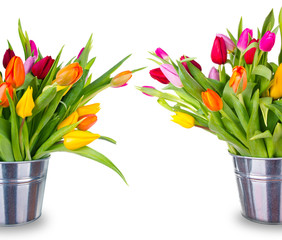 Spring blooming tulips in buckets, isolated on white background