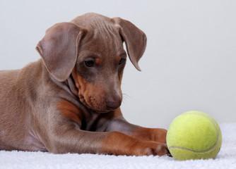 Doberman Pinscher puppy with tennis ball