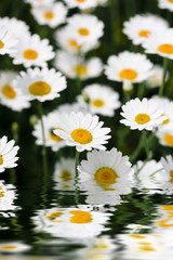 Daises reflecting in water close up