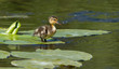 A small duck is standing on a leaf