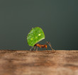 A leaf cutter ant is carrying a leaf