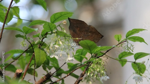 Brown butterflies eating nectar from the pollen