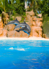Bottle nosed dolphins jumping  in blue pool
