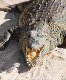croc resting on sand with its mouth open poster