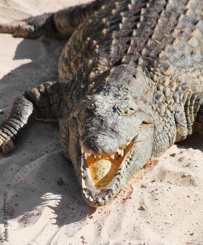 croc resting on sand with its mouth open