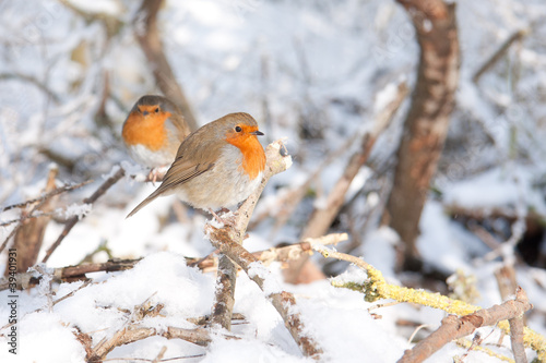 Robin redbreasts sitting in snow
