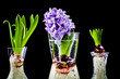 Growing hyacinth flower bulb in pot