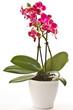 Fototapeten,natur,phalaenopsis,schönheit,weiß