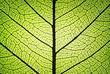 fresh leaf ribs and veins