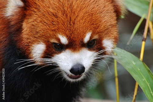 Fire fox or red panda (Ailurus fulgens) in a zoo