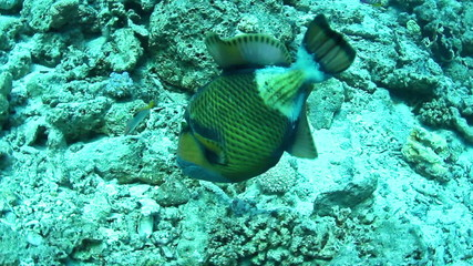 Titan triggerfish on a coral in the Red Sea, Egypt.