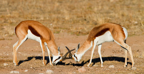 two springboks duelling