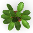 3d render of kalanchoe thyrisflora
