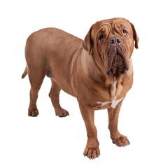 Dogue de Bordeaux/ French Mastiff