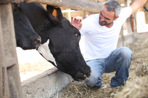 man stroking cow