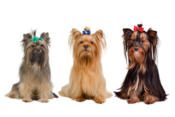 Three Yorkshire terrier dogs