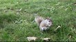 Squirrel eating in the park