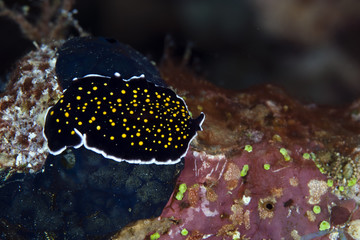 Gold-dotted flatworm in the Red Sea.