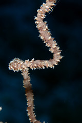 Detail of spiral wire coral in the Red Sea.