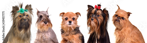 Group of little dogs portraits