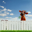 Cow with marijuana over the fence