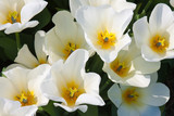 Beautiful white tulips with a yellow heart seen from above