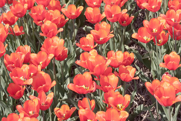 Field of colorful red tulips seen from above