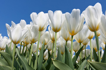 Beautiful white tulips with a yellow heart reaching to the sky