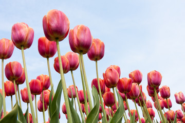 Beautiful red tulips against a blue sky