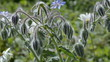 Grow borage