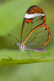 Fototapeta The Glass Wing Butterfly