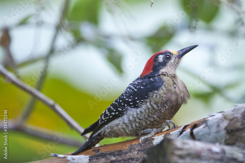 black cheeked woodpecker II