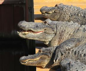 Florida, Alligator, crocodiles, wild life, wildlife, gator, Flor