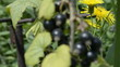 Blackcurrant and bees