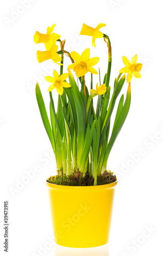 Fotobehang Narcis spring narcissus flowers in pot on white background