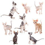 hairless Canadian and Don sphynx kittens set - 39474306