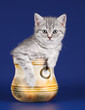 Little kitty in a bowl on blue background
