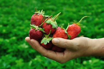 Fresh strawberries in the hand of a woman