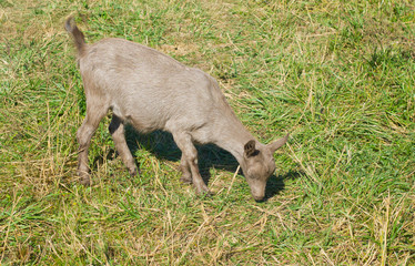 A young monotonous goat female grazing on a fall pasture.