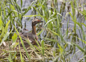 Horned Grebe and babies