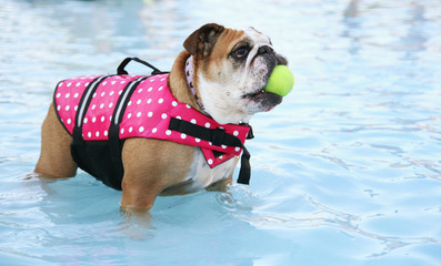 pool bulldog