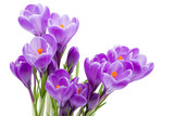Fototapety spring flowers, crocus, isolated on white