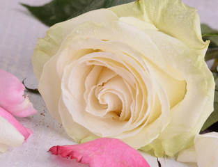 Close-up of a white rose with pink rose petals