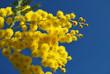 Mimosa flower 632