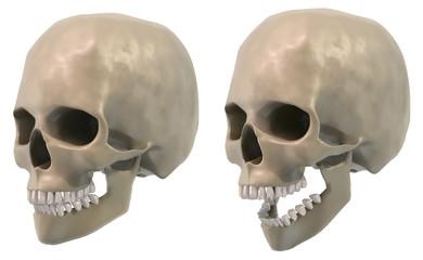 skull three quarter views