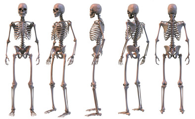 Skeleton five views