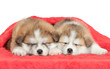 Japanese Akita inu puppies sleeping