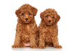 toy Poodle puppies portrait